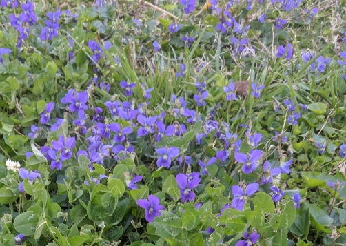 Patches of violets growing in a front yard.